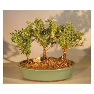 Bonsai Boys Flowering Mount Fuji Serissa   Three Tree Forest Group